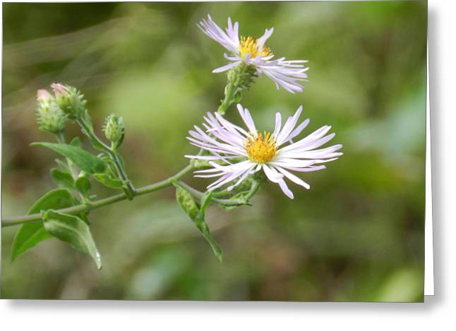 Merrit Greeting Cards - Asters in the Wild Greeting Card by Grace Dillon