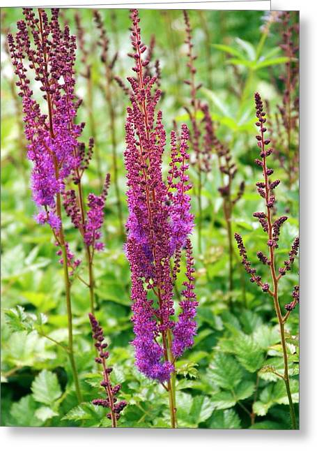 Astilbe Chinensis 'purpurlanze' Greeting Card by Adrian Thomas