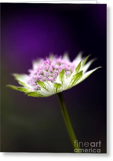 Astrantia Buckland Flower Greeting Card by Tim Gainey
