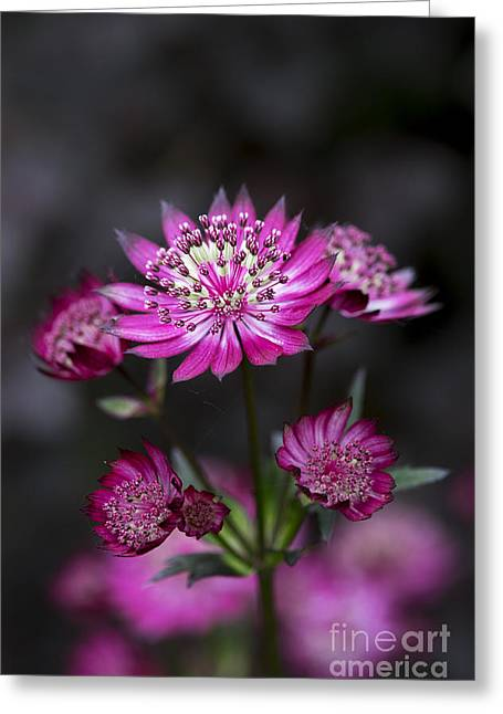 Cushion Photographs Greeting Cards - Astrantia Hadspen Blood Flower Greeting Card by Tim Gainey