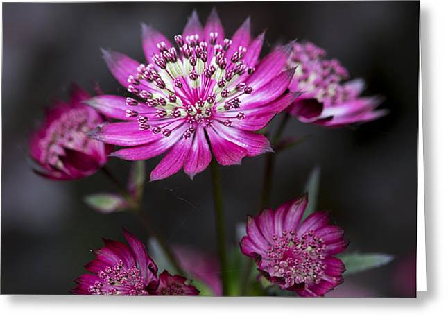 Astrantia Hadspen Blood Flower Greeting Card by Tim Gainey