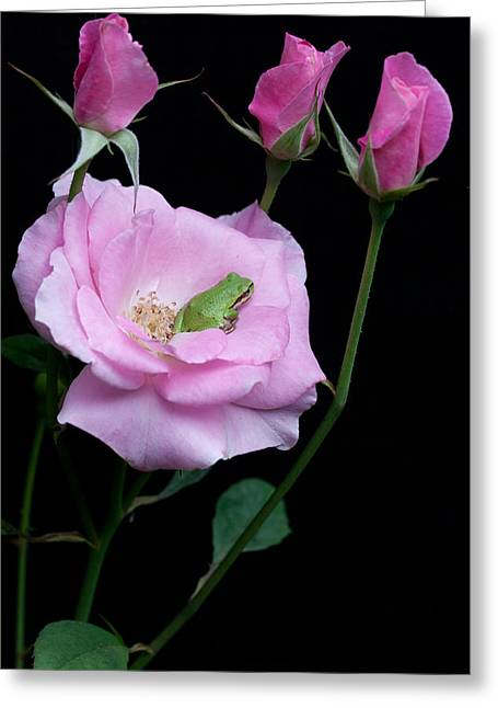 Pacific Tree Frog Greeting Cards - At Home In Soft Pink Greeting Card by Marvin Mast