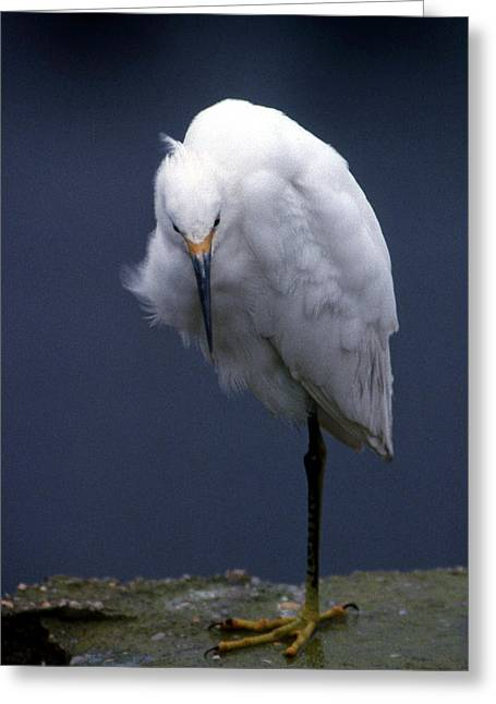 Photos Of Birds Greeting Cards - At Rest Greeting Card by Skip Willits