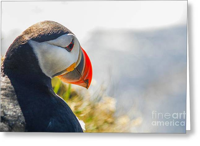 Honk Greeting Cards - Atalantic sea puffin in close up Greeting Card by Patricia Hofmeester
