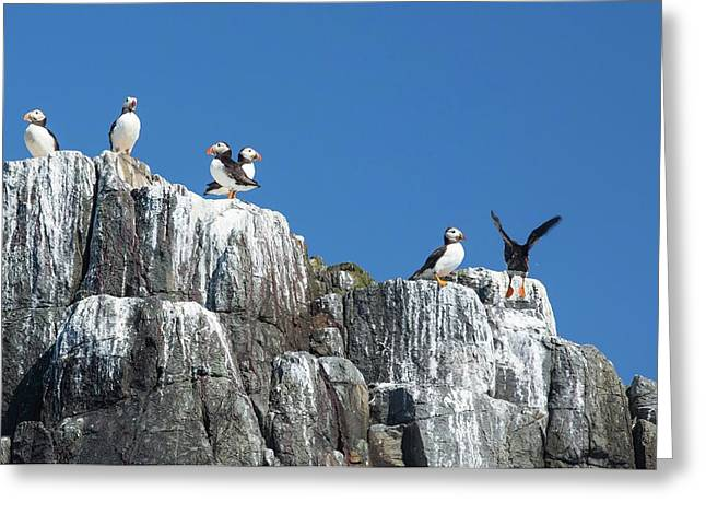 Atlantic Puffin Greeting Card by Ashley Cooper