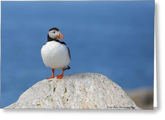 Atlantic Puffin  Greeting Card by Daniel Behm