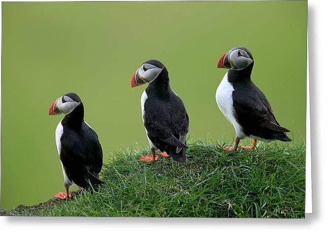 Seabirds Greeting Cards - Atlantic Puffin Trio on Cliff Greeting Card by Cyril Ruoso