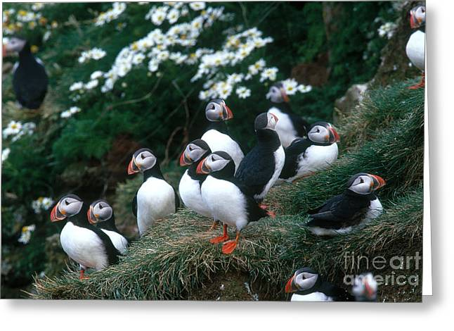 Atlantic Puffin Greeting Cards - Atlantic Puffins Greeting Card by Art Wolfe