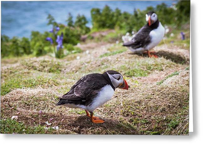 Atlantic Puffins Greeting Card by Paul Williams
