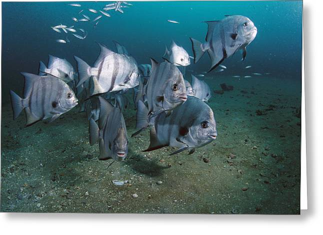 Spadefish Greeting Cards - Atlantic Spadefish School Grays Reef Greeting Card by Flip Nicklin