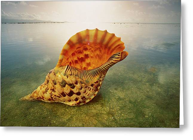 Ai Greeting Cards - Atlantic Trumpet Triton Shell Greeting Card by Jean-Paul Ferrero