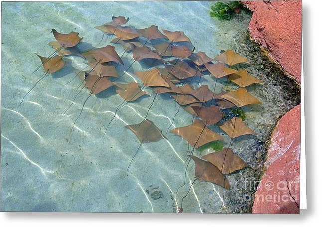 Atlantis Pyrography Greeting Cards - Atlantis stingrays Greeting Card by Larry Stolle