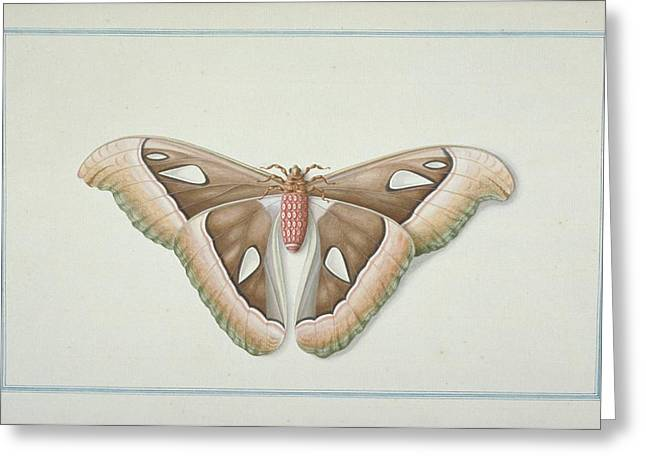 1700s Greeting Cards - Atlas moth, 18th century artwork Greeting Card by Science Photo Library