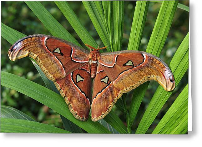 Thomas Marent Greeting Cards - Atlas Moth Male Malaysia Greeting Card by Thomas Marent
