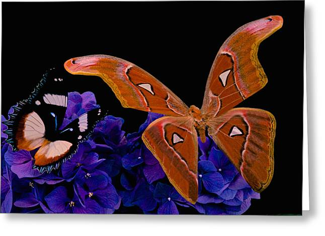 Cocoon Greeting Cards - Atlas Moth Rendezvous With The Gladiator Butterfly At Midnight Greeting Card by Leslie Crotty