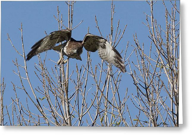 Redtail Hawks Greeting Cards - Attack Greeting Card by Ernie Echols