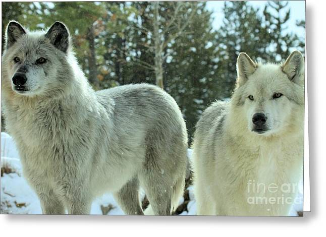 Alpha Wolf Greeting Cards - Attention Grabber Greeting Card by Adam Jewell