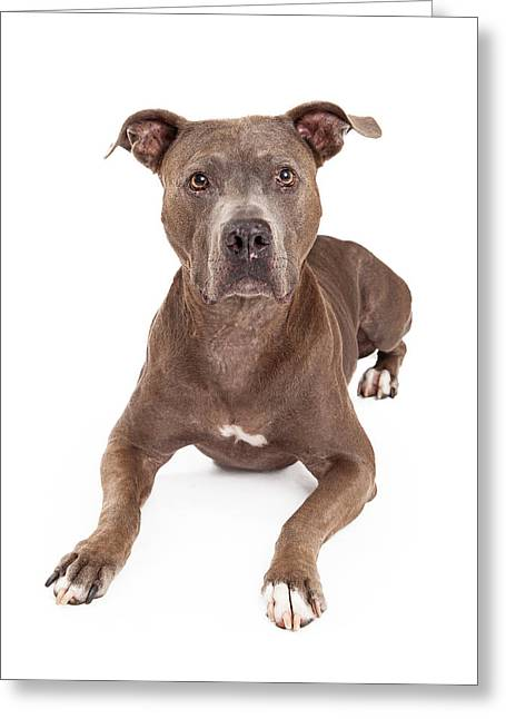 Full-length Portrait Photographs Greeting Cards - Attentive American Staffordshire Terrier Dog Laying Greeting Card by Susan  Schmitz