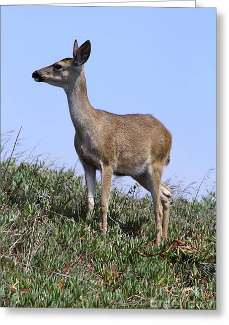 Marin County Greeting Cards - Attentive Doe  Greeting Card by Christiane Schulze Art And Photography