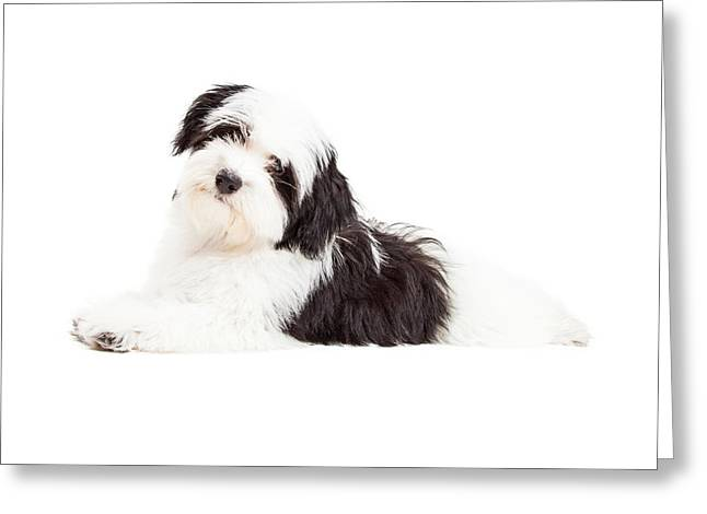Obedient Greeting Cards - Attentive Havanese Dog Laying Greeting Card by Susan  Schmitz