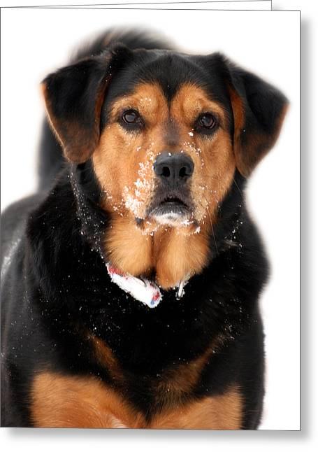 Mixed Labrador Retriever Greeting Cards - Attentive Labrador Dog Greeting Card by Christina Rollo