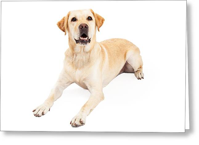 Obedience Greeting Cards - Attentive Labrador Retriever Dog Laying Greeting Card by Susan  Schmitz