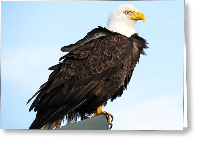 Attractive Bald Eagle Greeting Card by Debra  Miller