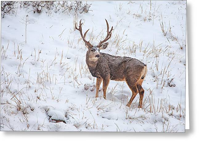 Rut Greeting Cards - Atypical Buck Greeting Card by Darren  White