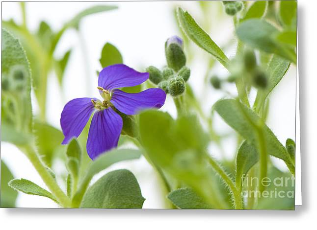 Close Focus Floral Greeting Cards - Aubretia Greeting Card by Anne Gilbert