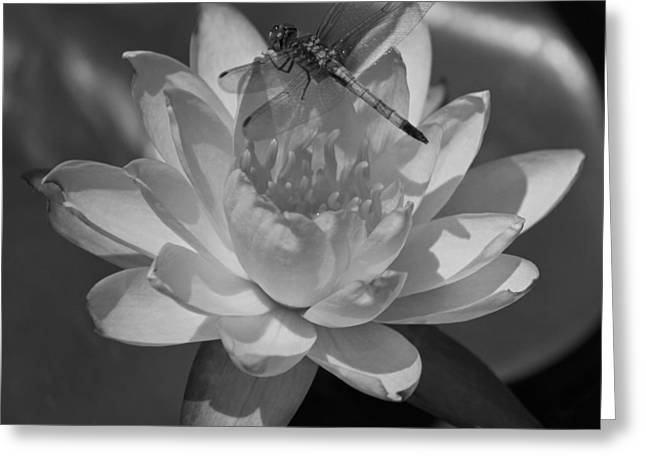 Water Lilies And Insects Greeting Cards - August in the Carolinas in Black and White Greeting Card by Suzanne Gaff
