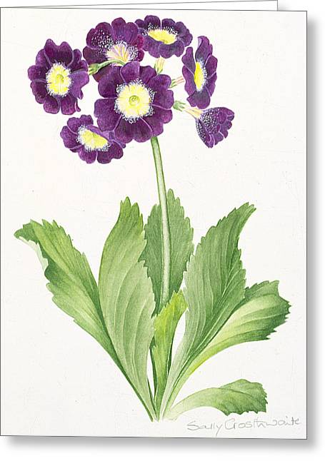 Flower Still Life Prints Greeting Cards - Auricula Greeting Card by Sally Crosthwaite