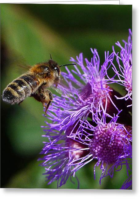 Australian Bees Greeting Cards - Australian Bee Arriving At Flower Greeting Card by Margaret Saheed