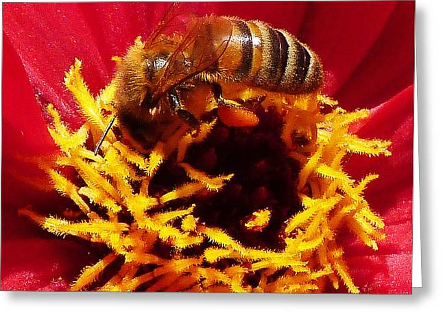 Australian Bees Greeting Cards - Australian Bee Enjoying Dahlia Pollen Greeting Card by Margaret Saheed