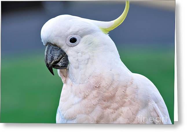 Australian Native Bird Greeting Cards - Australian Birds - Cockatoo Greeting Card by Kaye Menner