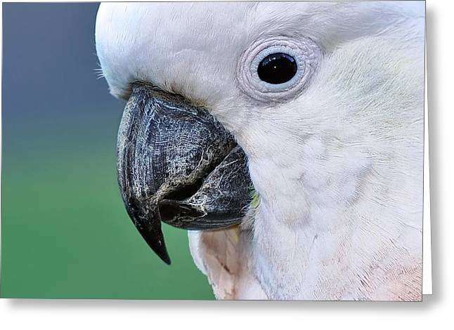 Australian Native Bird Greeting Cards - Australian Birds - Cockatoo up close Greeting Card by Kaye Menner