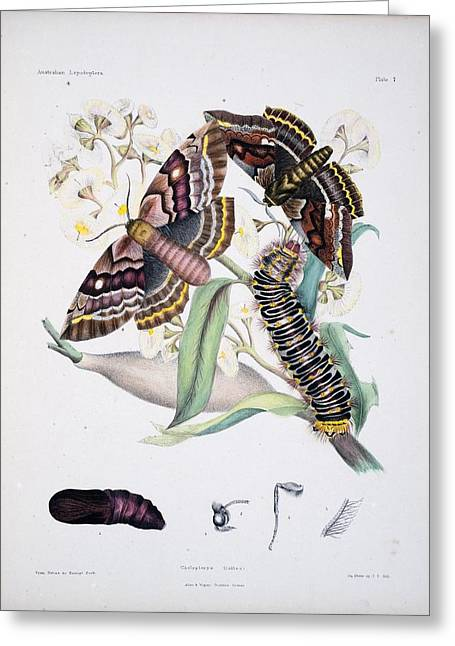 Lepidopterist Greeting Cards - Australian Butterflies Greeting Card by Philip Ralley