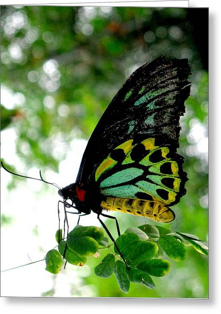 Australian Butterfly Cairns Birdwing Ornithoptera Priamus Greeting Card by  Andrea Lazar