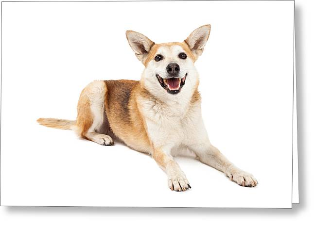 Inu Greeting Cards - Australian Cattle and Shiba Inu Mix Dog Laying Greeting Card by Susan  Schmitz