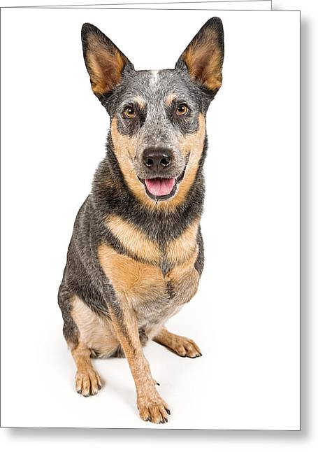 Obedience Greeting Cards - Australian Cattle Dog With Missing Leg Isolated on White Greeting Card by Susan Schmitz