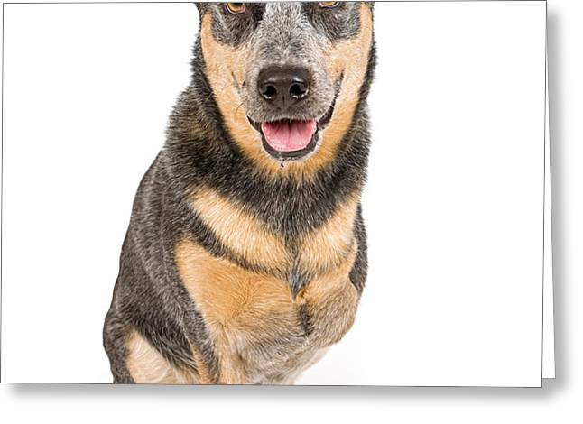 Australian Cattle Dog With Missing Leg Isolated on White Greeting Card by Susan Schmitz