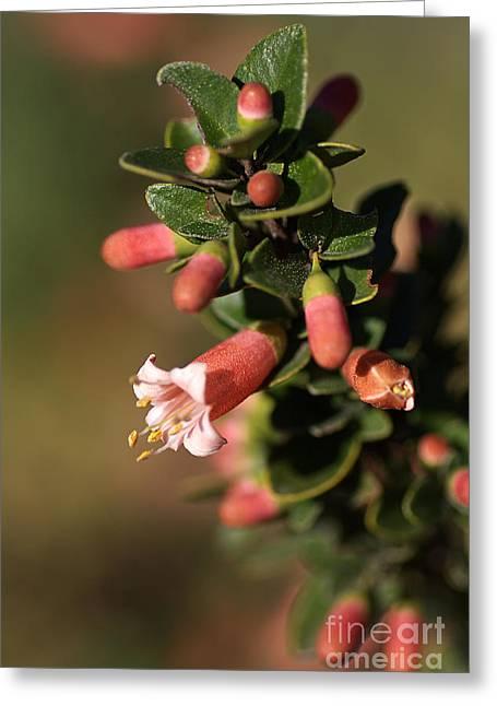 Australian Native Flora Greeting Cards - Australian Fuchsia Greeting Card by Joy Watson