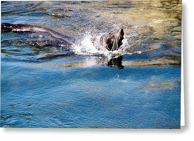 Sea Lions Greeting Cards - Australian Fur Seal Greeting Card by David Rich