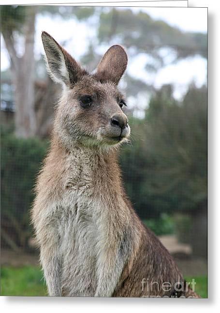 Close Focus Nature Scene Greeting Cards - Australian Kangaroo Greeting Card by Jacqui Martin