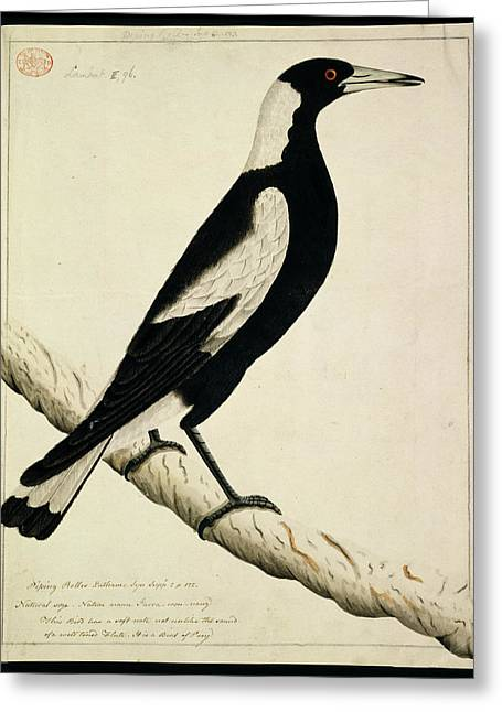 Australian Magpie Greeting Card by Natural History Museum, London