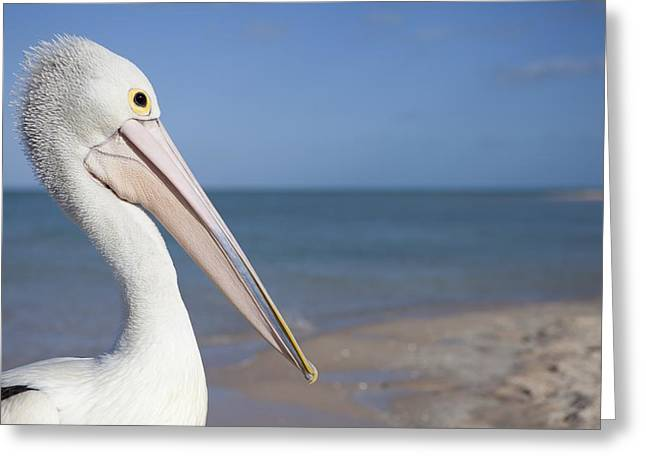 Monkey Mia Greeting Cards - Australian Pelican Greeting Card by Science Photo Library
