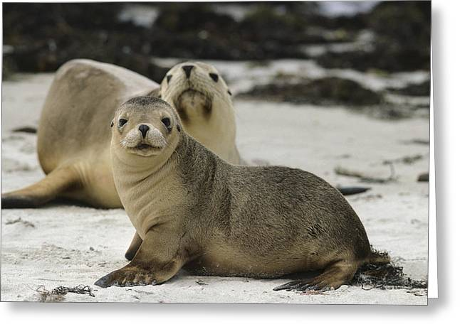 Sea Lions Greeting Cards - Australian Sea Lion And Pup Kangaroo Isl Greeting Card by Gerry Ellis