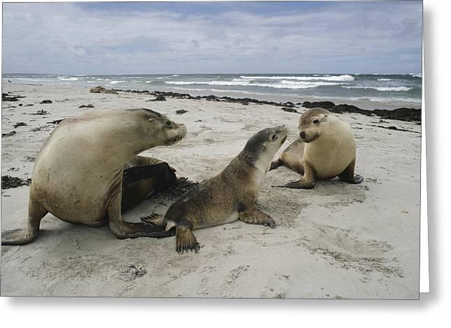 Australian Sea Lion Greeting Cards - Australian Sea Lion And Pups Kangaroo Greeting Card by Gerry Ellis