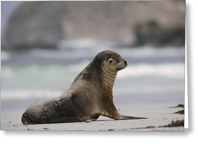 Australian Sea Lion Greeting Cards - Australian Sea Lion On Beach Kangaroo Greeting Card by Gerry Ellis