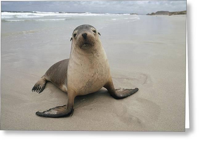 Australian Sea Lion Greeting Cards - Australian Sea Lion Portrait Greeting Card by Gerry Ellis