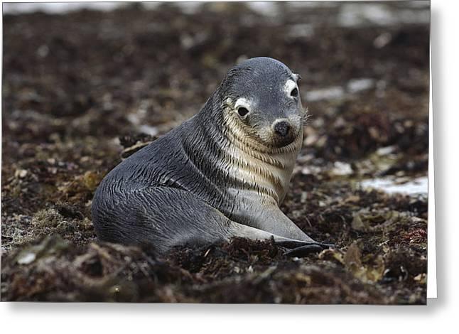 Australian Sea Lion Greeting Cards - Australian Sea Lion Pup In Seaweed Greeting Card by Gerry Ellis